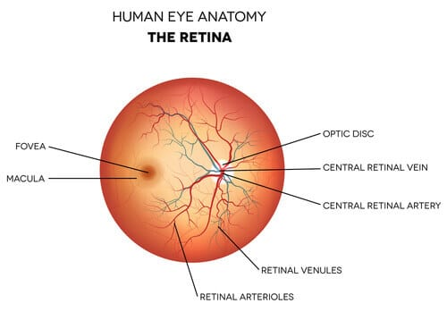 Human eye anatomy the retina
